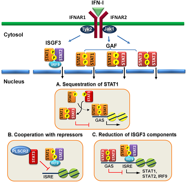 Fine-Tuning Of Type I Interferon Response By