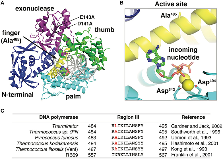 Frontiers Therminator Dna Polymerase Modified Nucleotides And Unnatural Substrates Molecular Biosciences