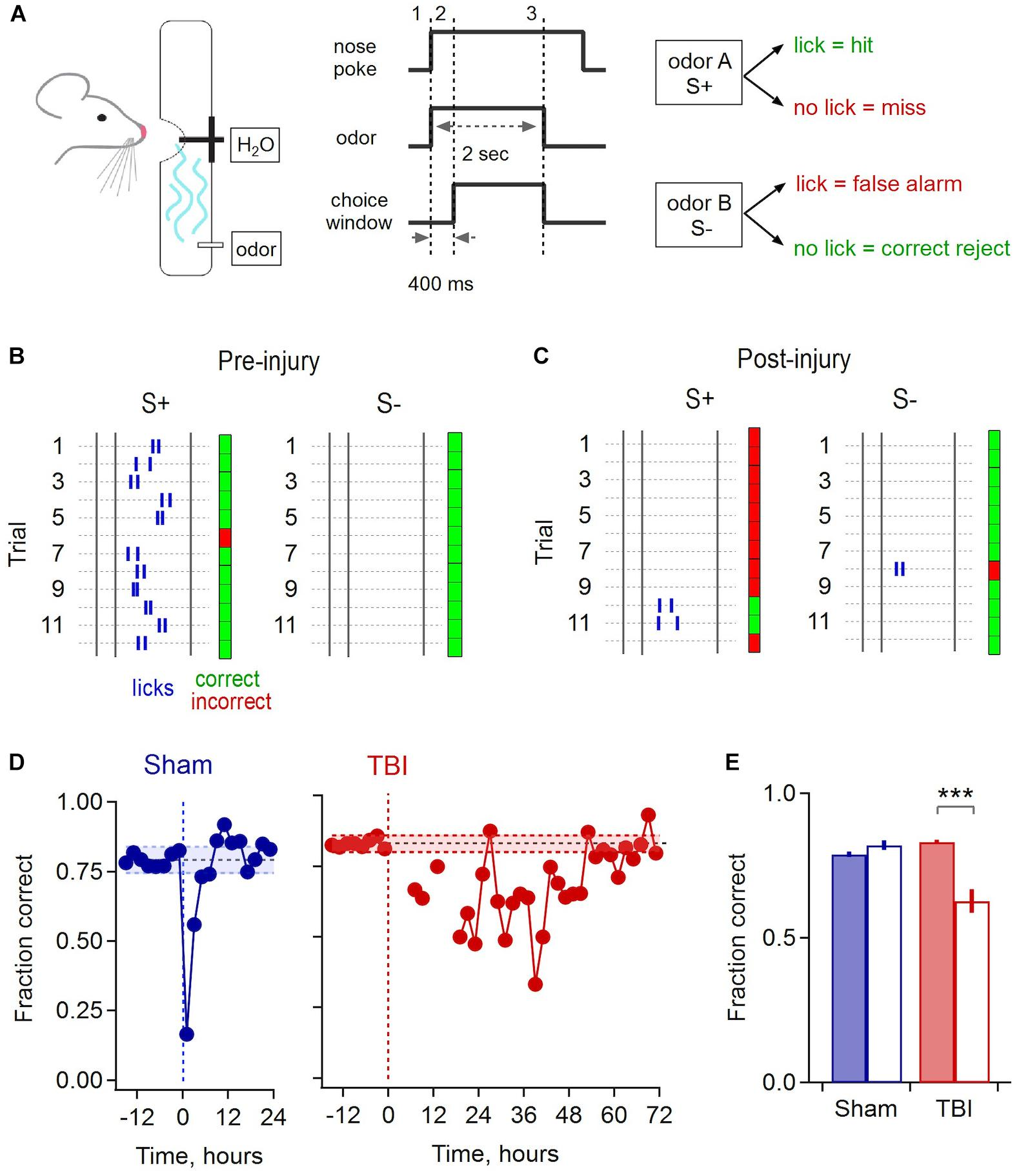 Frontiers   Rapid Changes in Synaptic Strength After Mild