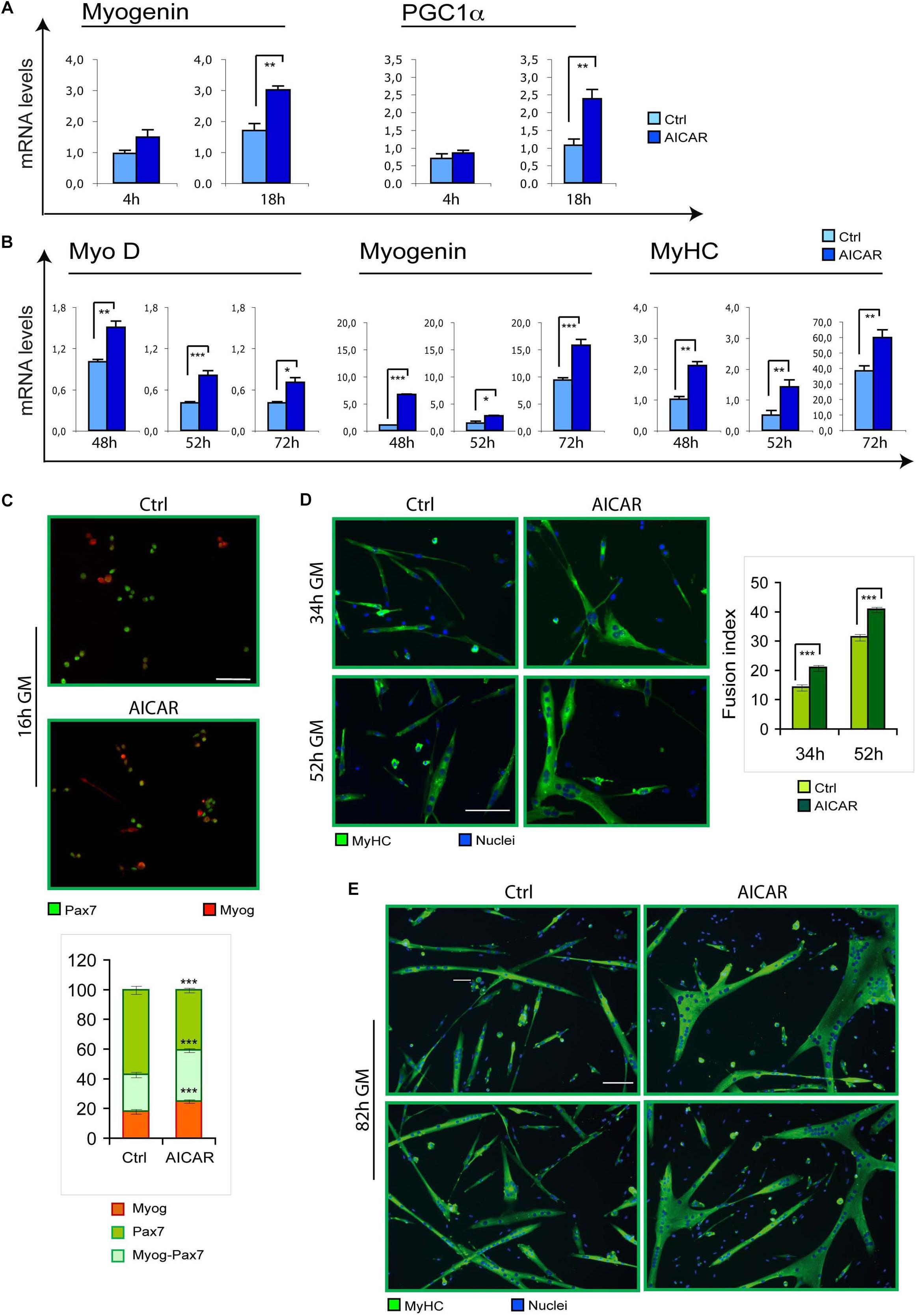 Frontiers | Metabolic Reprogramming Promotes Myogenesis During Aging