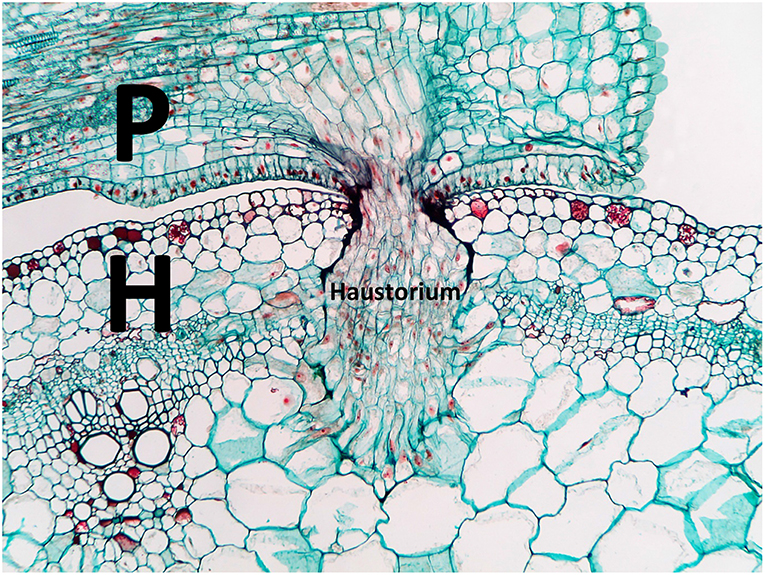 Figure 2 - A microscopic cross-section of a Cuscuta parasite (P) invading a host plant (H).