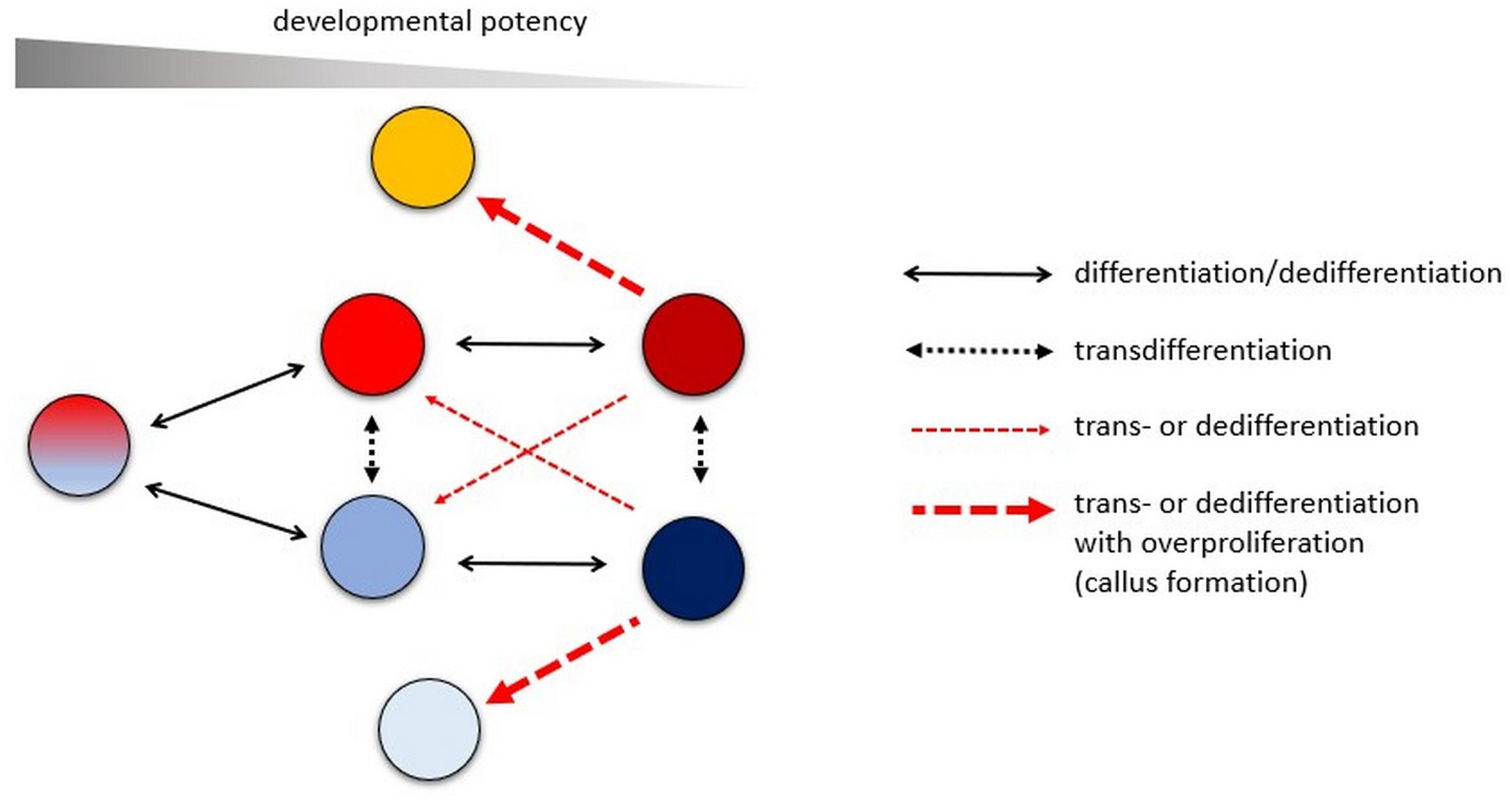 Frontiers Callus Dedifferentiation Totipotency Somatic