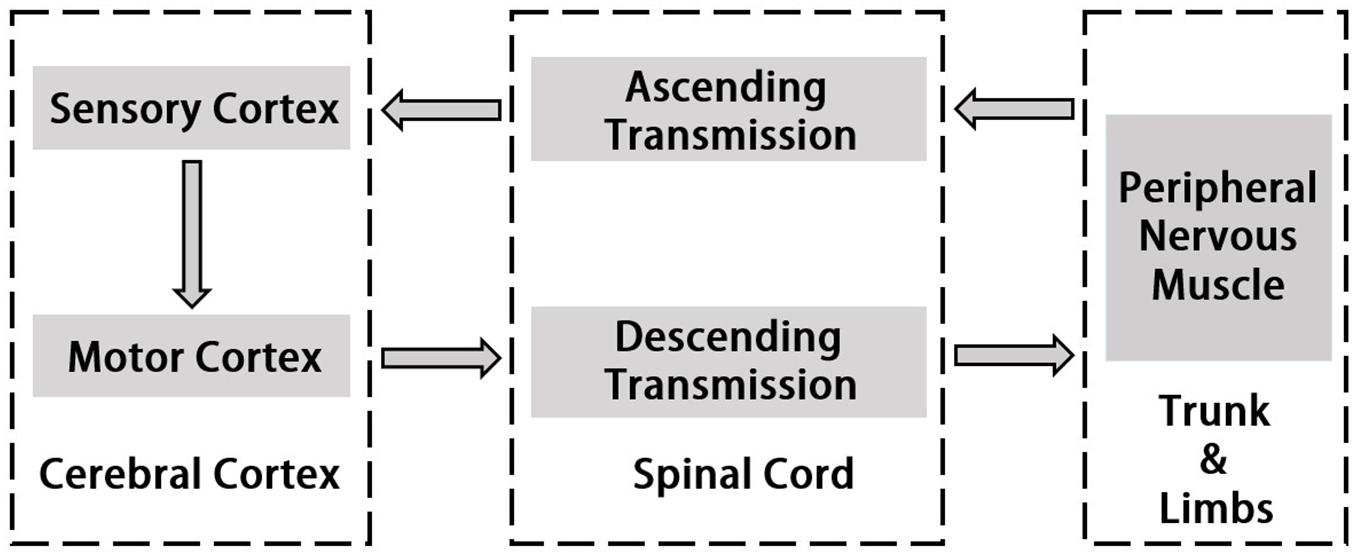 Frontiers | Corticomuscular Coherence and Its Applications