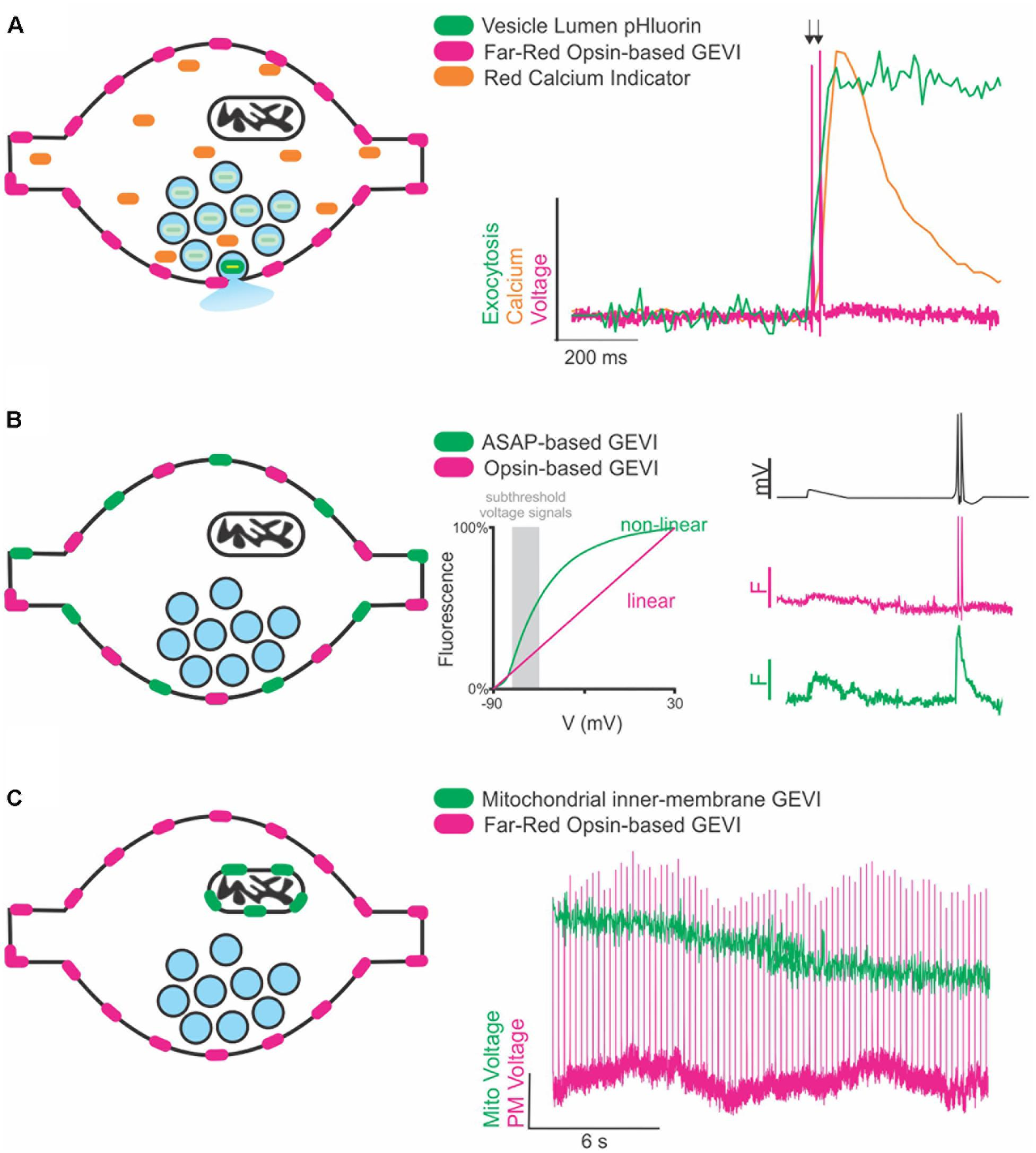 Frontiers | Genetically Encoded Voltage Indicators Are
