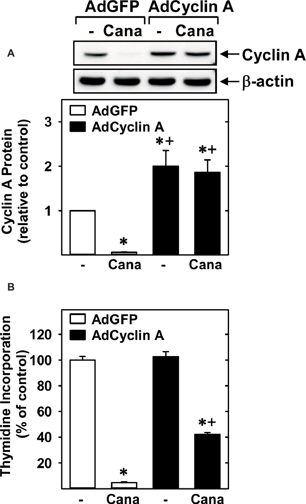 Frontiers | Canagliflozin Inhibits Human Endothelial Cell