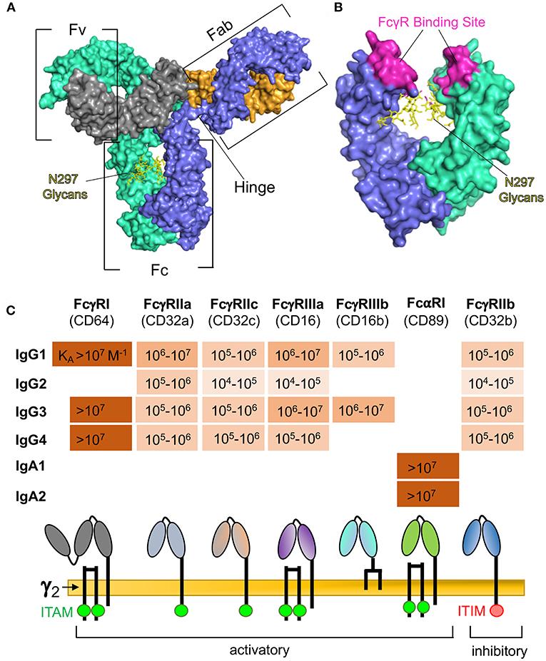 Frontiers | Antibody-Dependent Cellular Phagocytosis in Antiviral