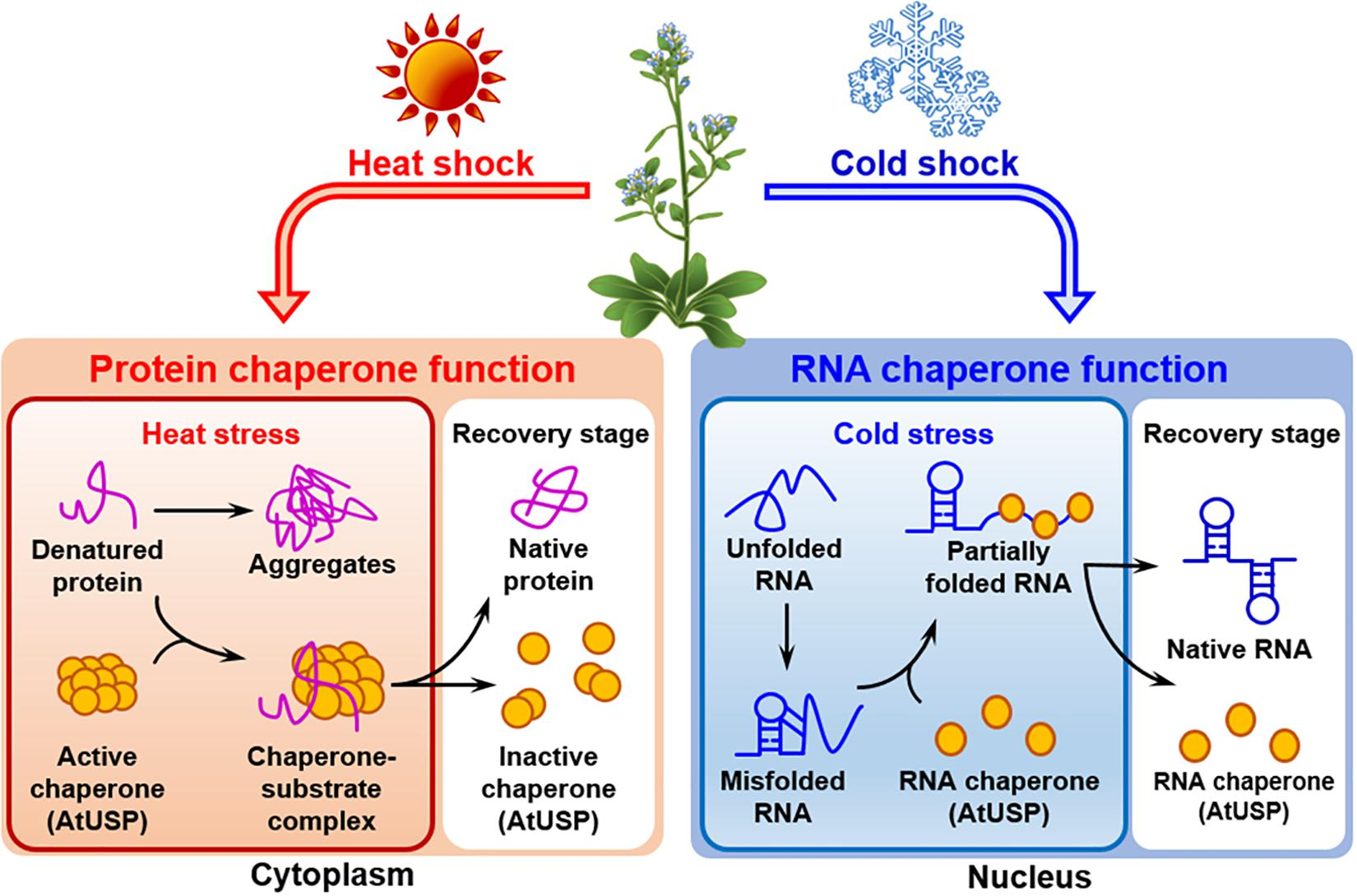 Frontiers   The Physiological Functions of Universal Stress Proteins