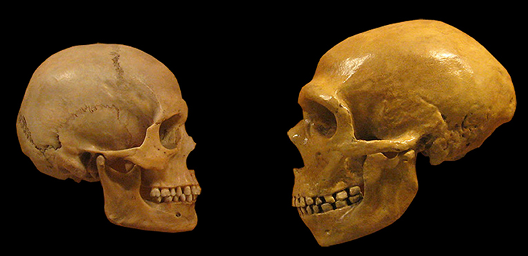 Figure 1 - Comparison between Neanderthal (right) and modern human (left) skulls.