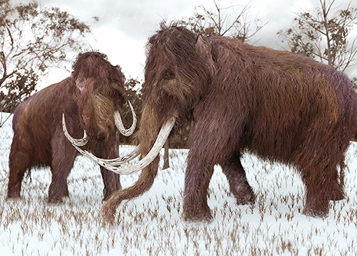 Figure 2 - The wooly mammoth was a relative of the Asian elephant.