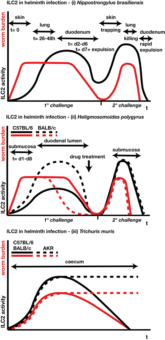 Frontiers | Innate Lymphoid Cells in Helminth Infections