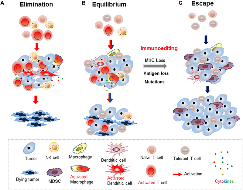 Frontiers | Heterogeneity of the Head and Neck Squamous Cell