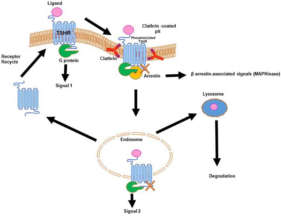Frontiers   Editorial: TSH Receptor and Autoimmunity
