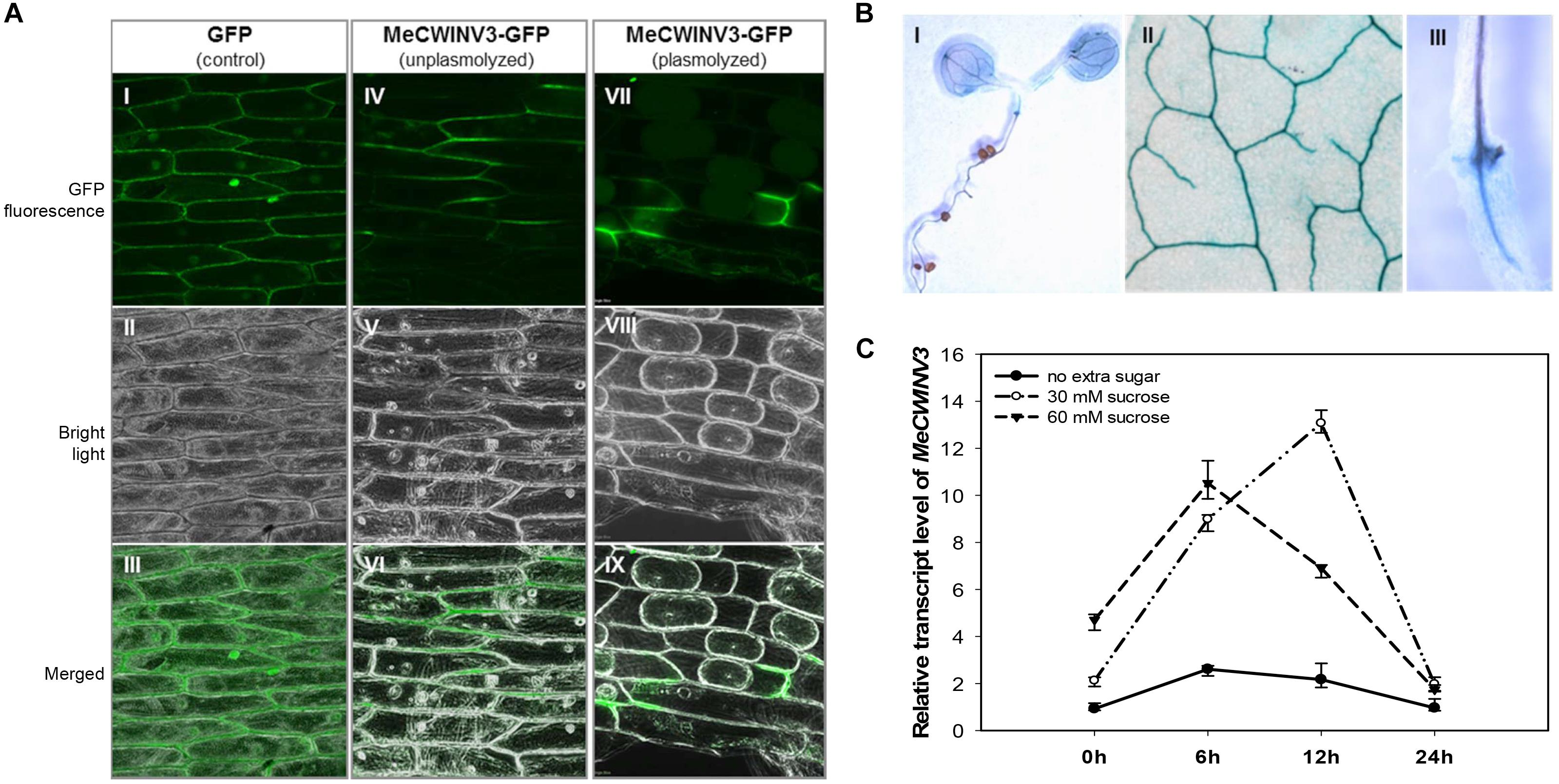 Frontiers | Cell Wall Invertase 3 Affects Cassava