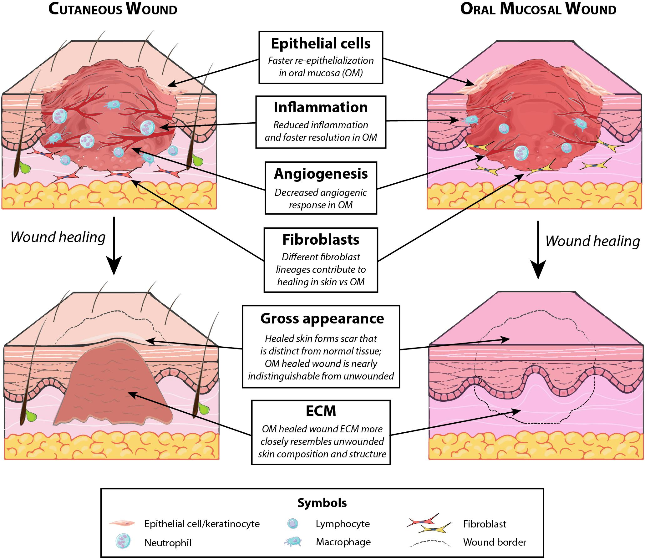 Frontiers The Spectrum Of Scarring In Craniofacial Wound Repair Physiology