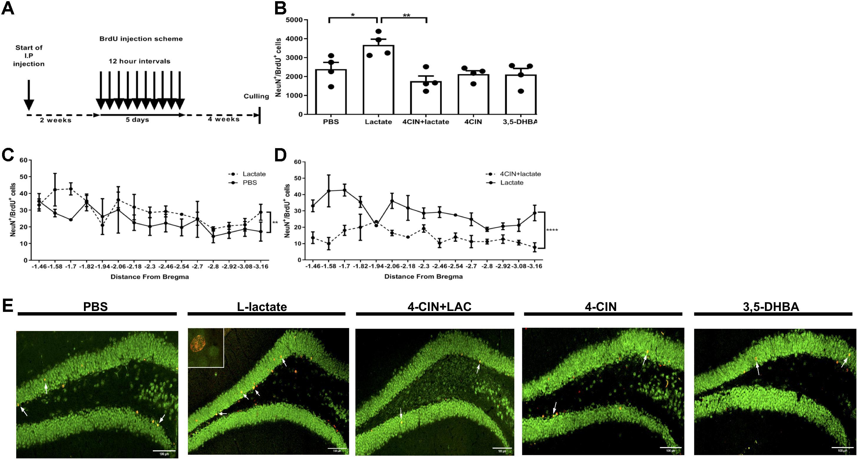 Frontiers | L-Lactate Promotes Adult Hippocampal