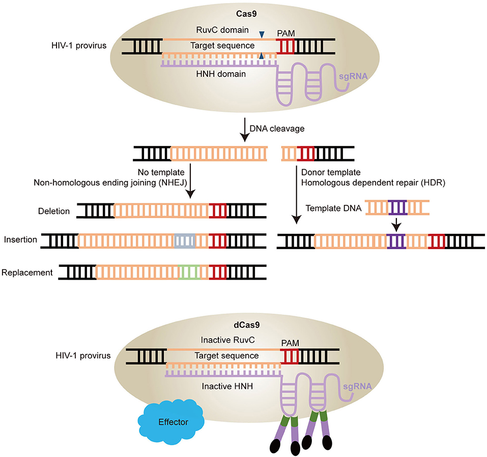 Frontiers | Application of CRISPR/Cas9-Based Gene Editing in