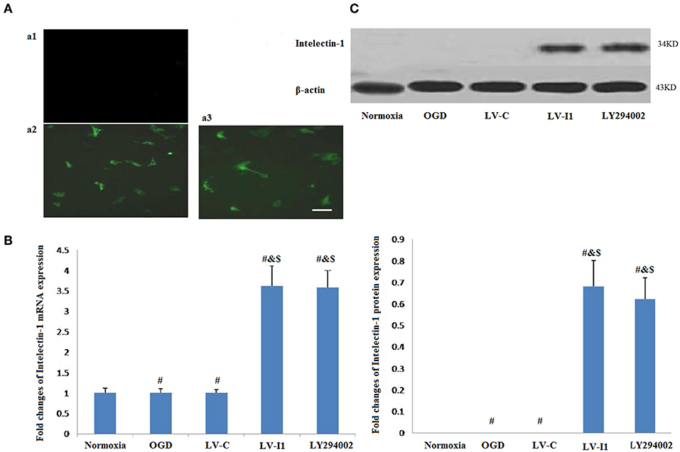 Frontiers | The Effects of Intelectin-1 on Antioxidant and