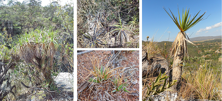 Figure 2 - Resurrection plants in their natural habitats.