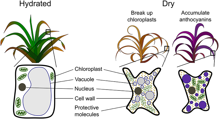 Figure 3 - Mechanisms used by the cells of resurrection plants to tolerate extreme dehydration.