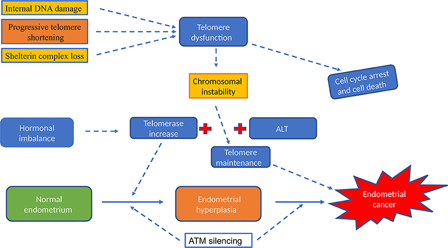 Frontiers   Telomerase and Telomeres in Endometrial Cancer
