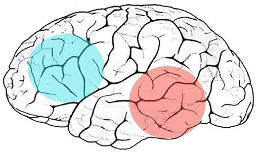 איור 2 - מבט צידי של החלק השמאלי של המוח.