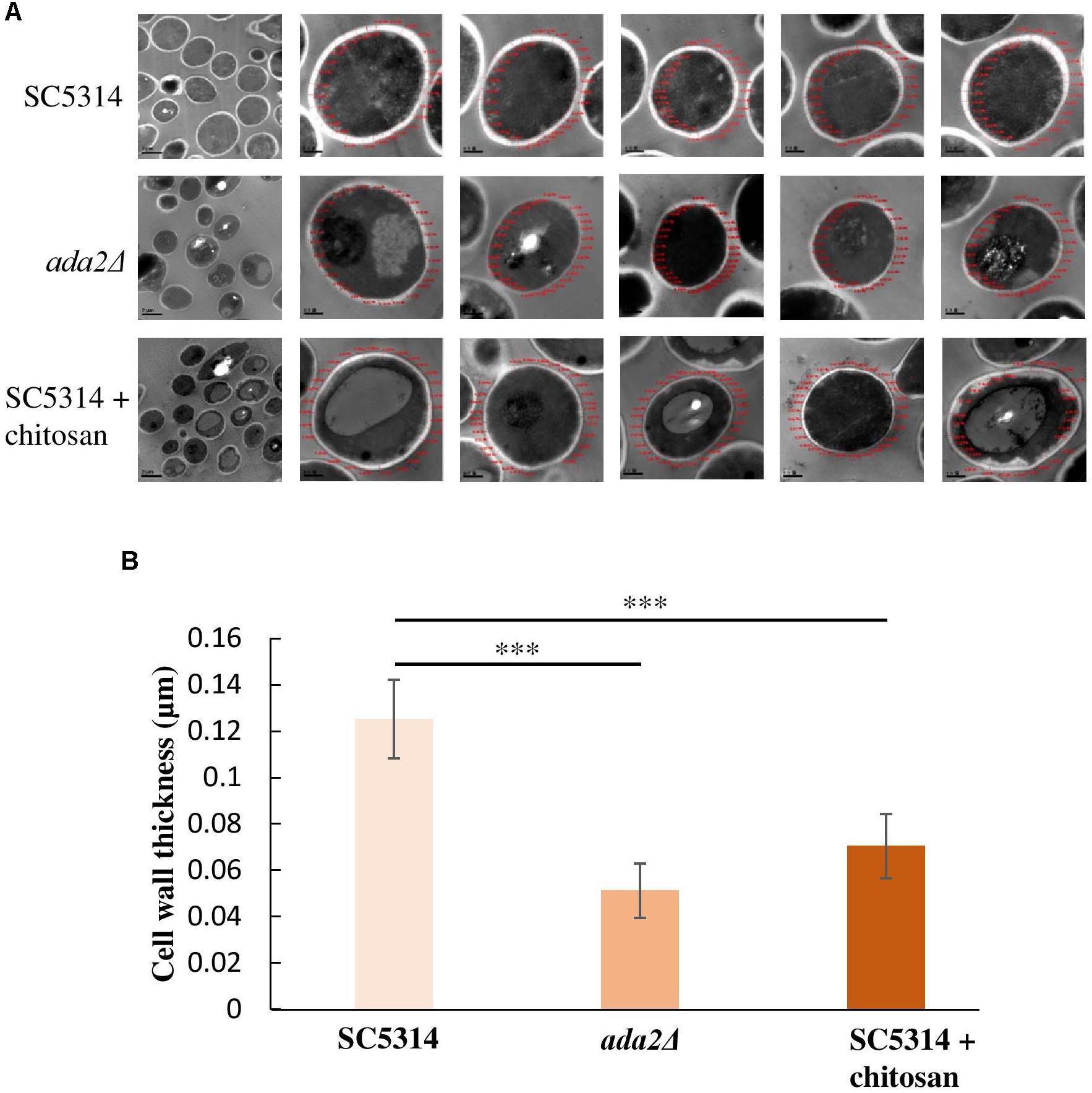 Targeting Aspergillus Fumigatus Crf Transglycosylases