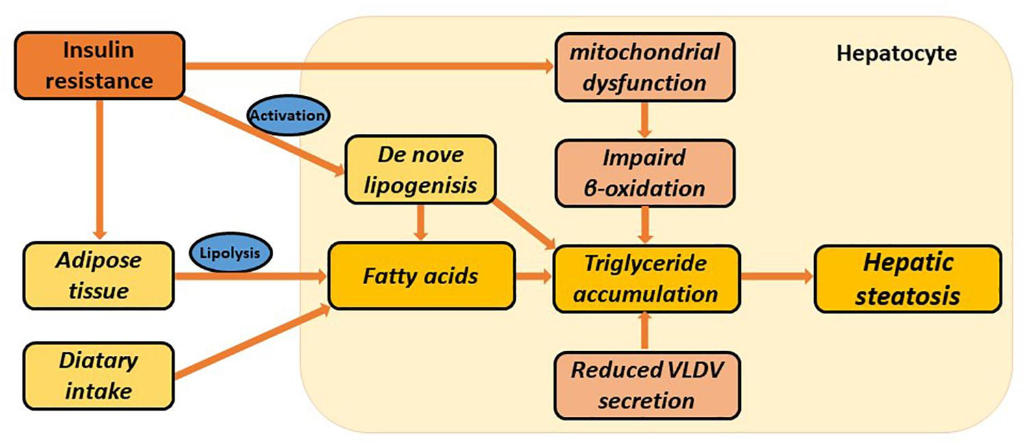Frontiers   Circadian Clock Genes in the Metabolism of Non-alcoholic