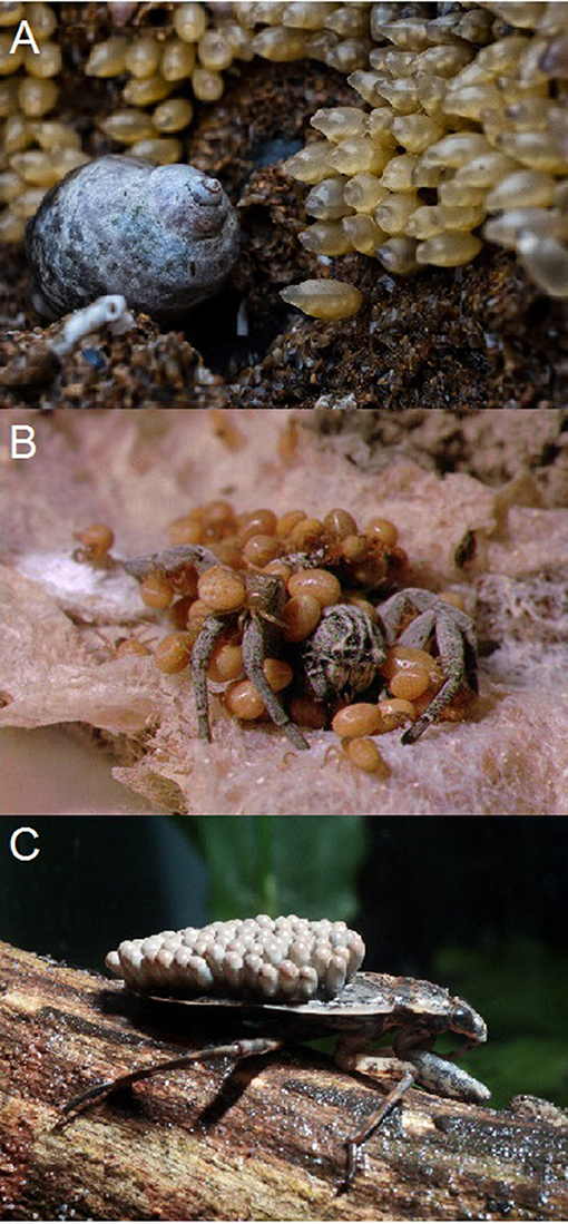 Figure 1 - Invertebrates have many ways of helping their offspring to survive.