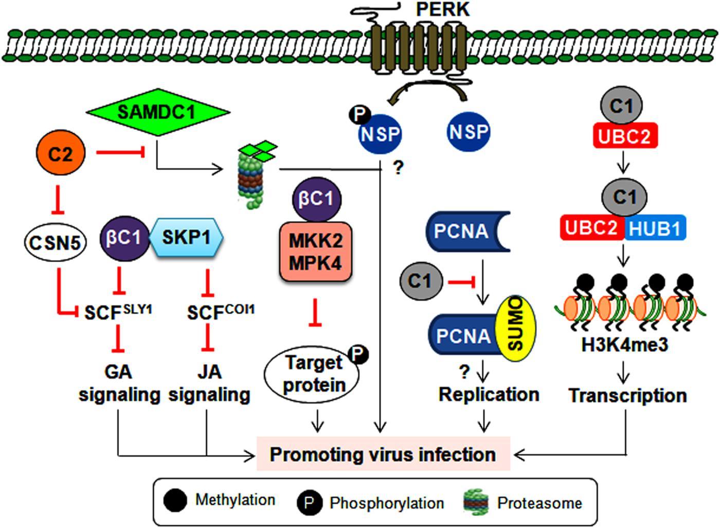 Frontiers | Plant Antiviral Immunity Against Geminiviruses