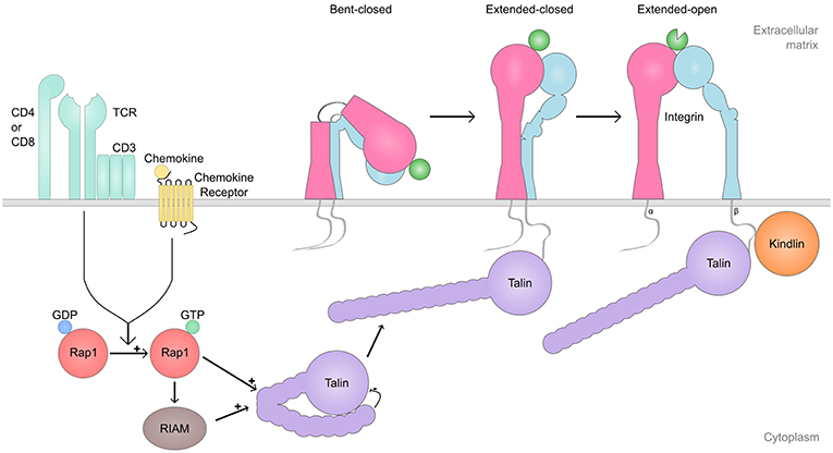 Frontiers | Cell Adhesion Molecules and Their Roles and Regulation