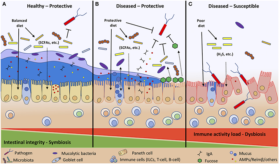 Frontiers | Diet-Microbe-Host Interactions That Affect Gut