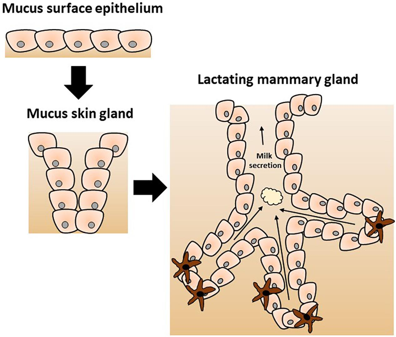 Frontiers | Host Microbe Interactions in the Lactating