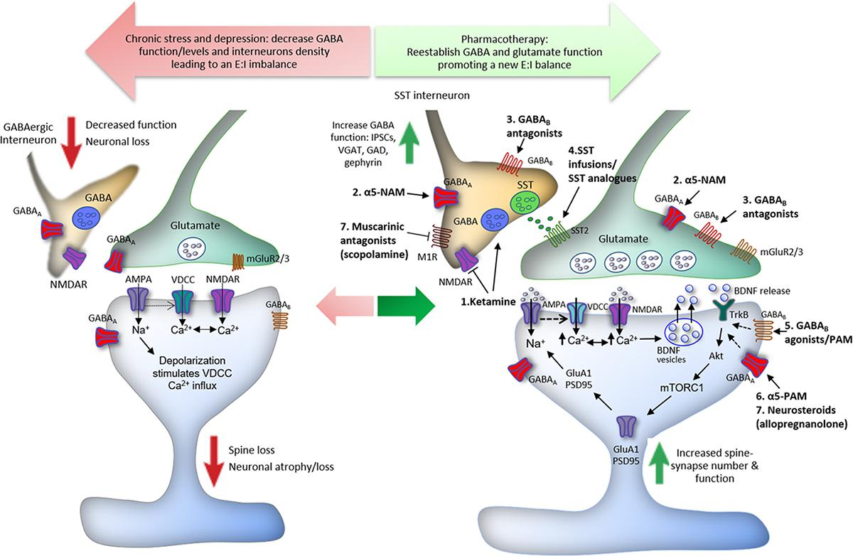 Frontiers | Cortical GABAergic Dysfunction in Stress and