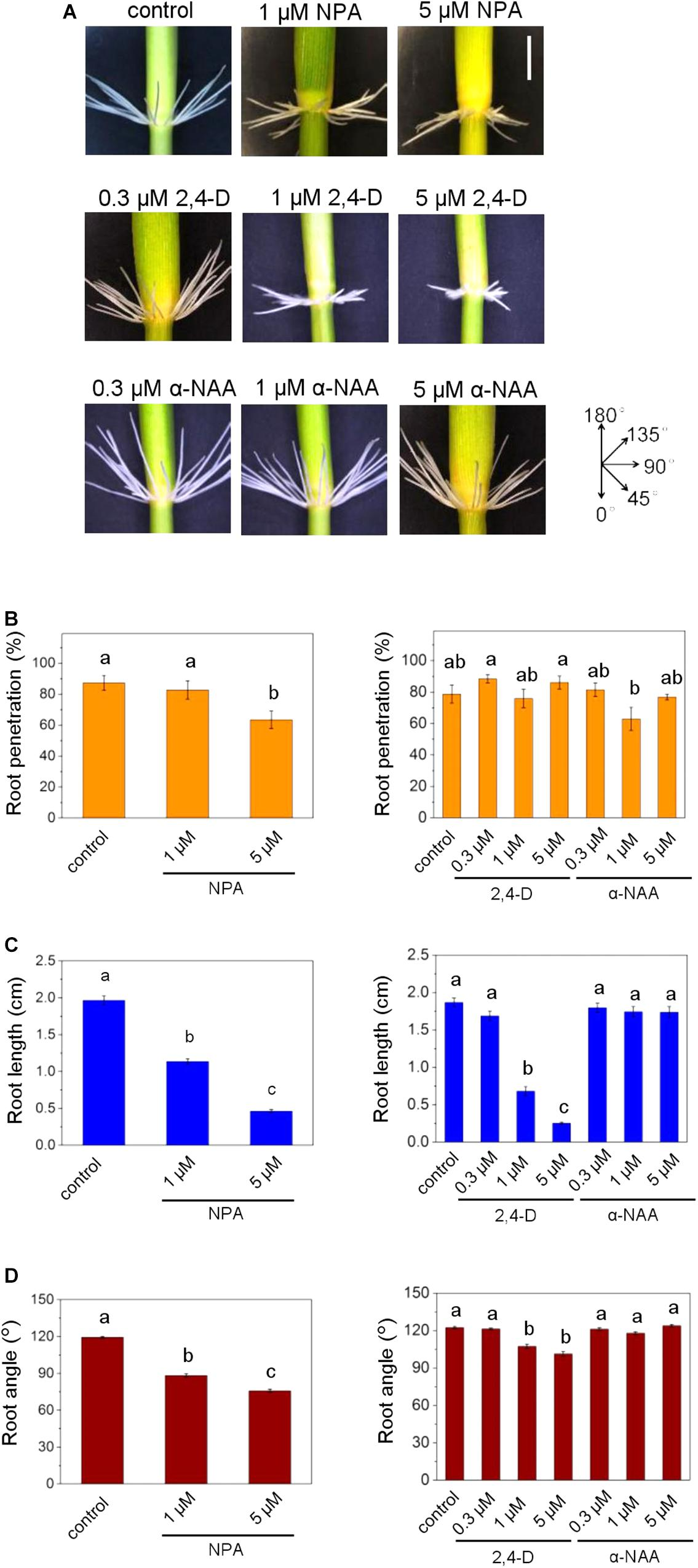 Frontiers | Polar Auxin Transport Determines Adventitious Root