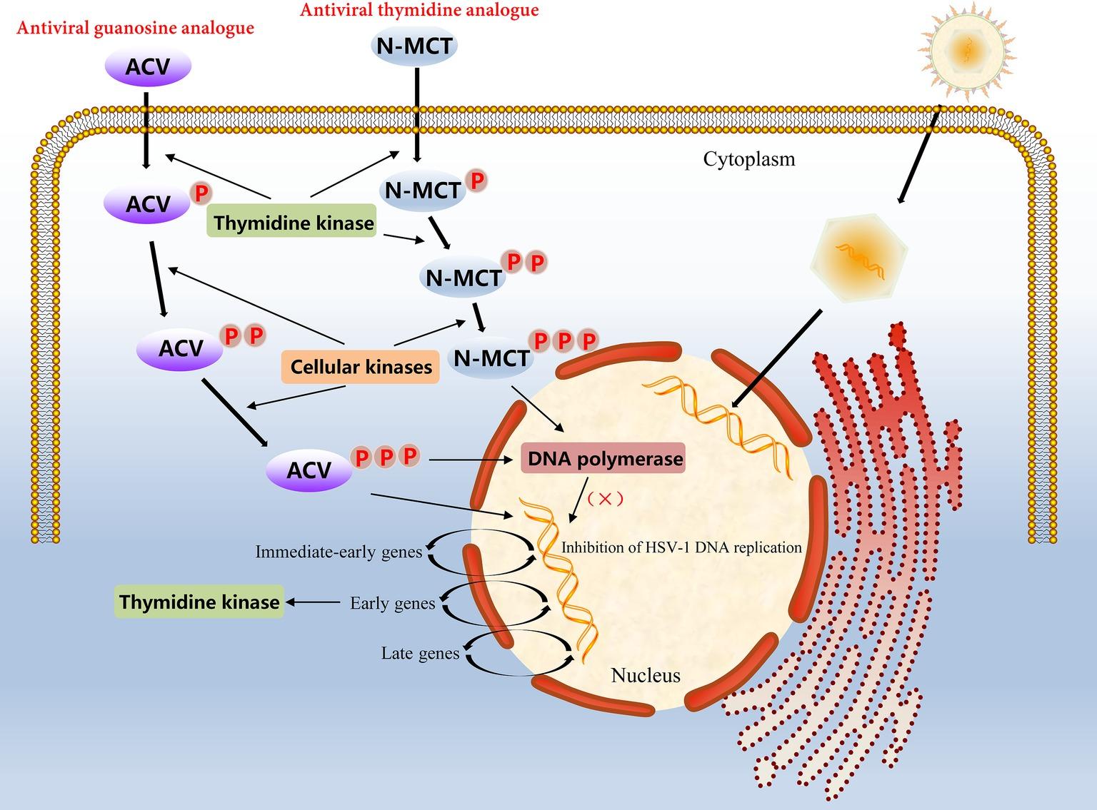 Frontiers | Alpha-Herpesvirus Thymidine Kinase Genes Mediate Viral