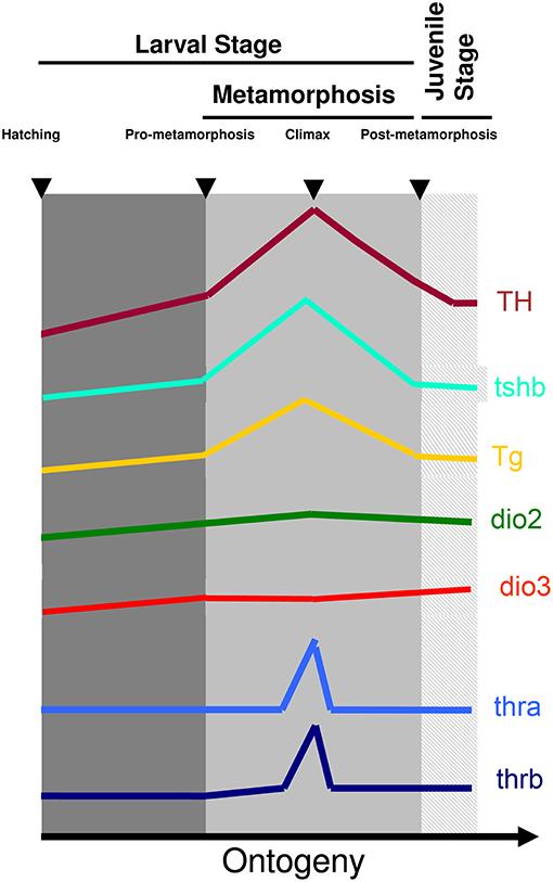 Frontiers Teleost Metamorphosis The Role Of Thyroid Hormone