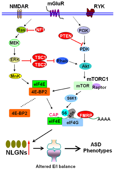 Neuroscientists Reverse Some Autism >> Frontiers Reversing Autism By Targeting Downstream Mtor Signaling