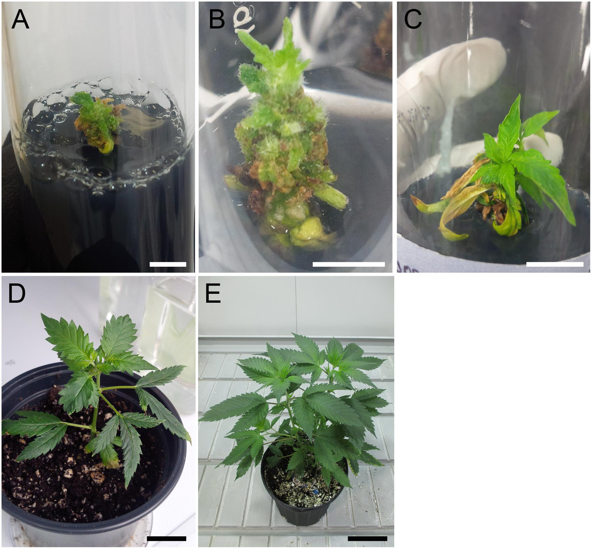Frontiers | Polyploidization for the Genetic Improvement of
