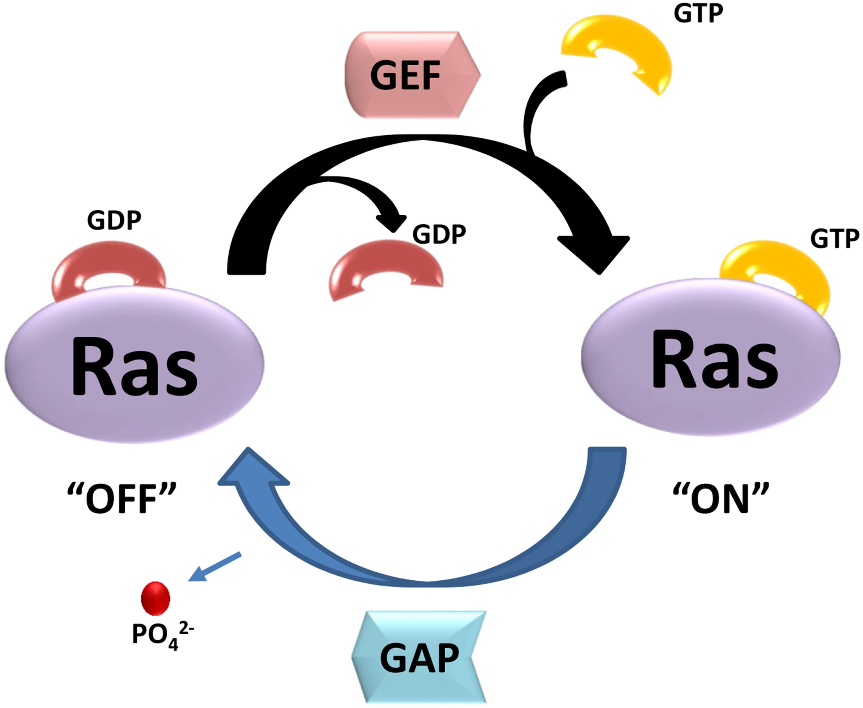 Frontiers | The Ras Superfamily of Small GTPases in Non-neoplastic