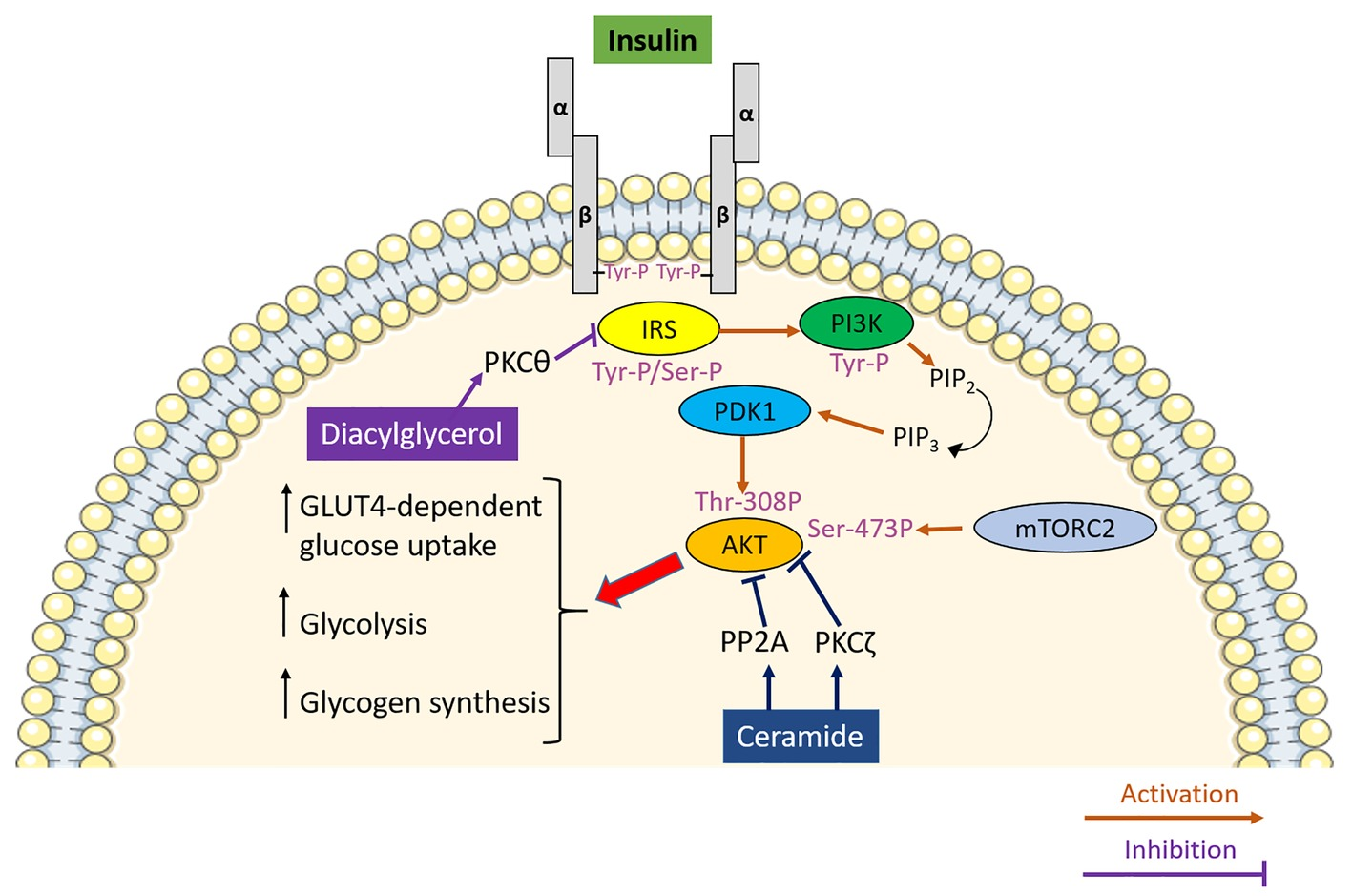 Ams Sugar Ii frontiers   mitochondrial (dys)function and insulin