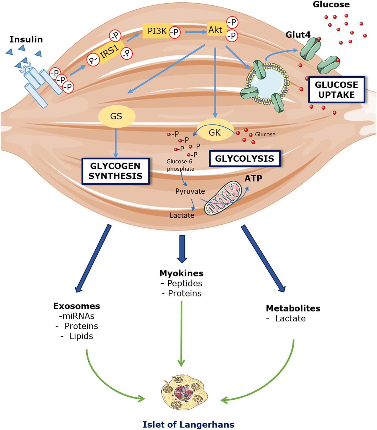 Frontiers   Insights on the Role of Putative Muscle-Derived