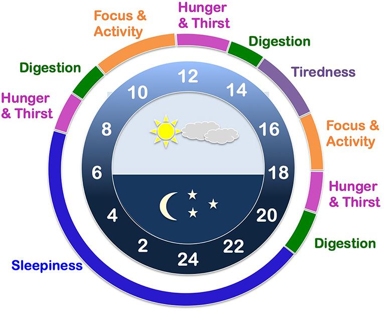 איור 1 - דוגמה לשעון פנימי בסקאלה של 24 שעות.