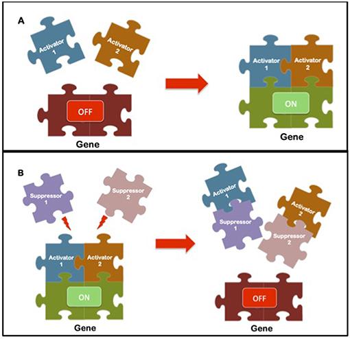 איור 2 - השעונים הפנימיים שלנו נשלטים על-ידי גנים שמייצרים חלבונים שנקראים אקטיבטורים ודכאנים.