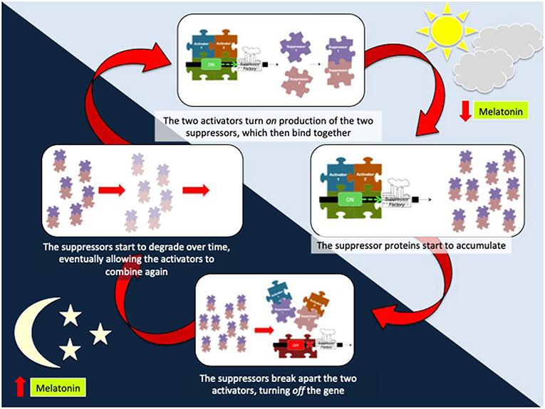איור 3 - המחזור השלם של האופן שבו הגנים מתקשרים בשעון הפנימי שלנו במהלך 24 שעות.