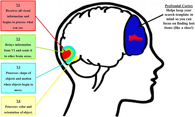 Figure 1 - The visual cortex.