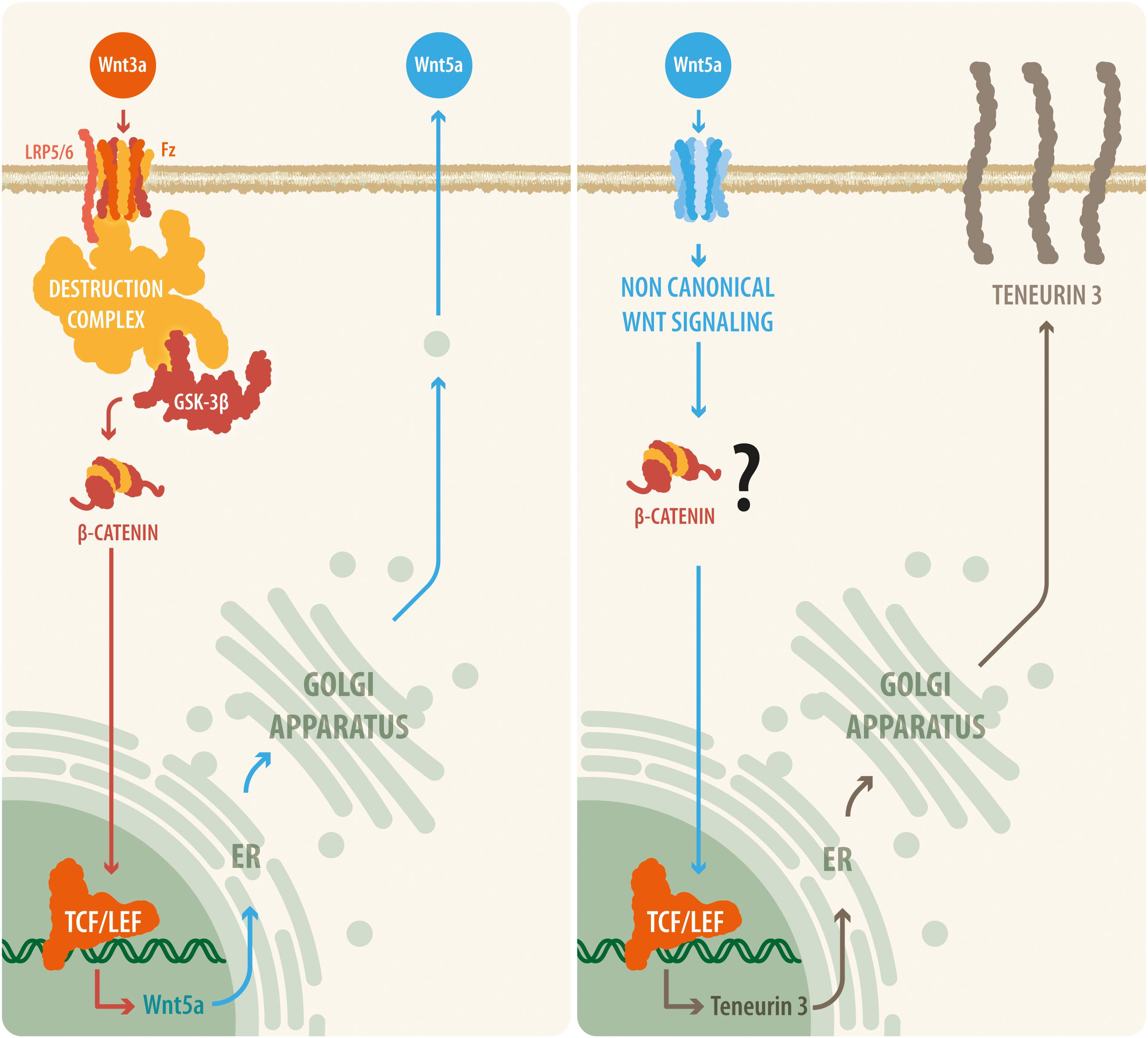 Frontiers | Wnt Signaling Upregulates Teneurin-3 Expression