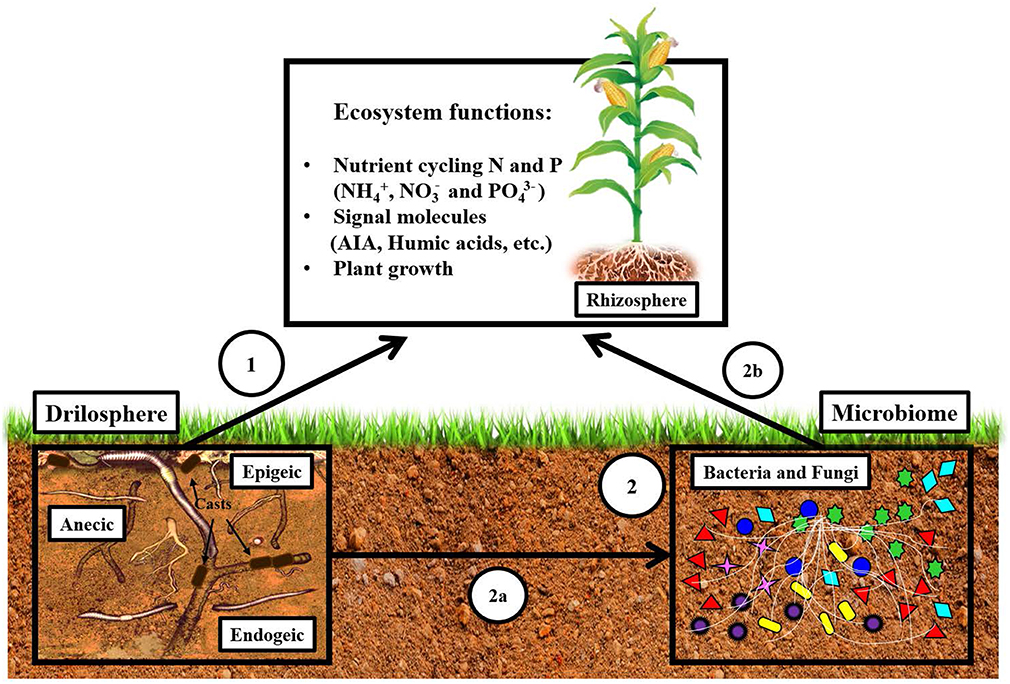 Frontiers | Earthworms Building Up Soil Microbiota, a Review