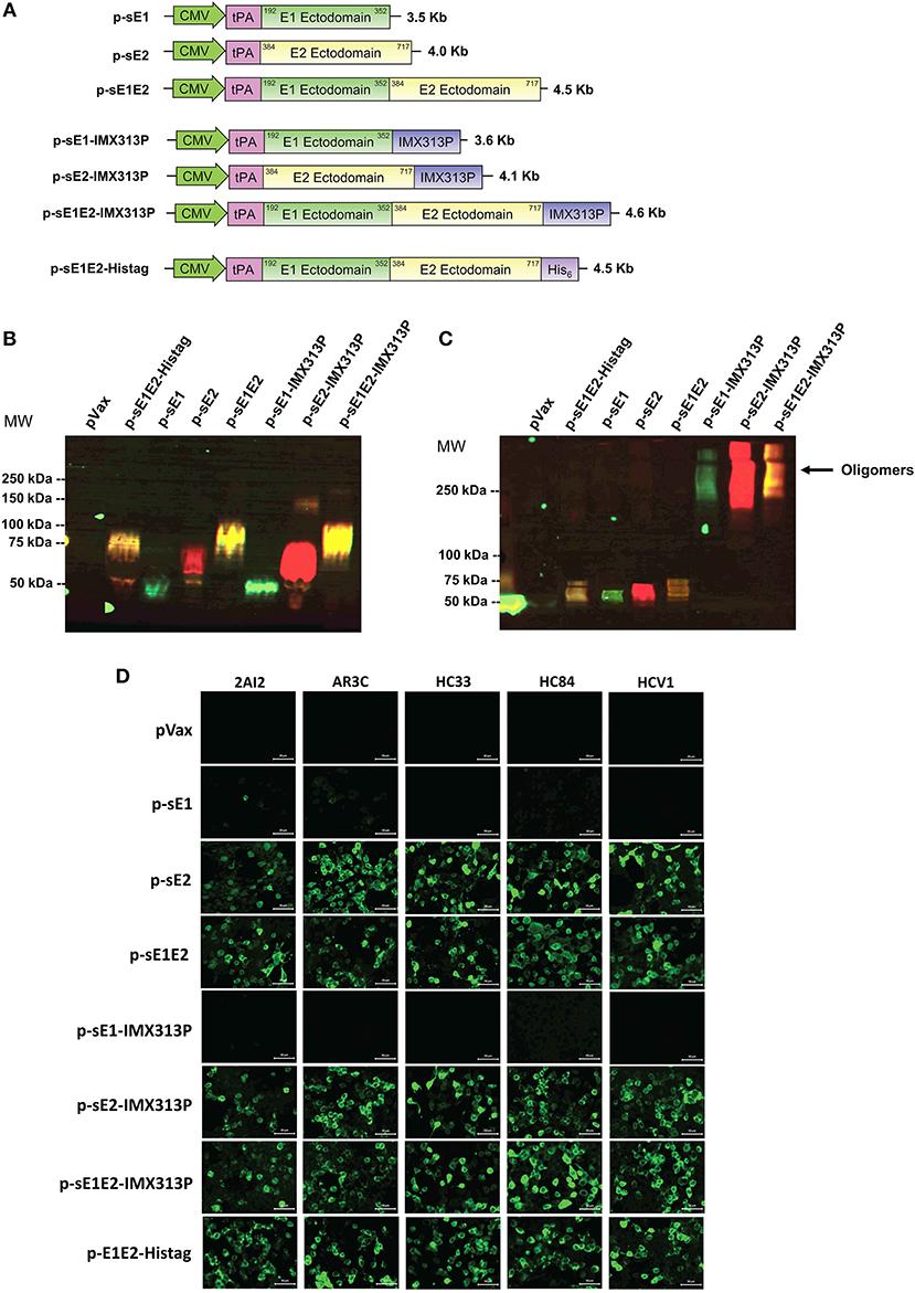 Frontiers   A Hepatitis C Virus DNA Vaccine Encoding a