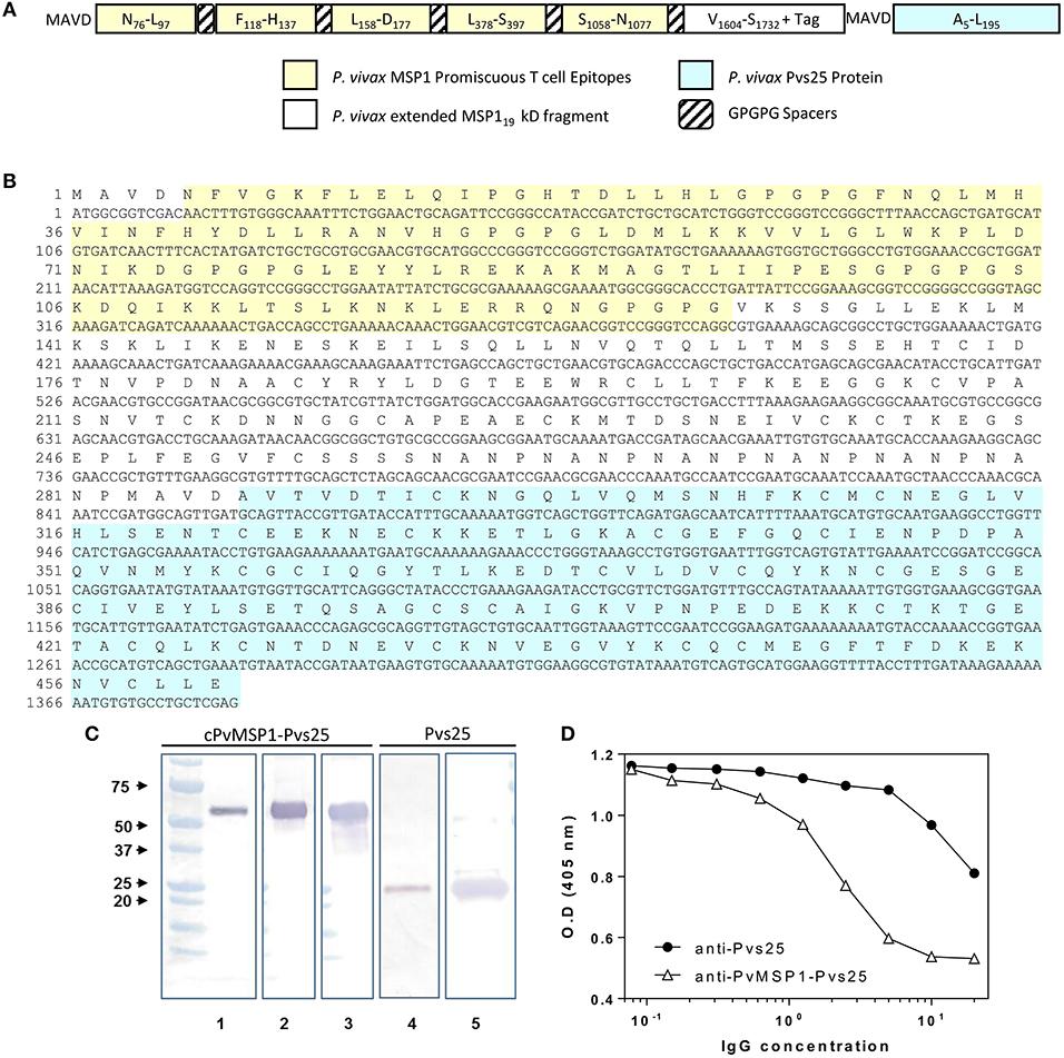 Frontiers   A Multi-Stage Plasmodium vivax Malaria Vaccine Candidate