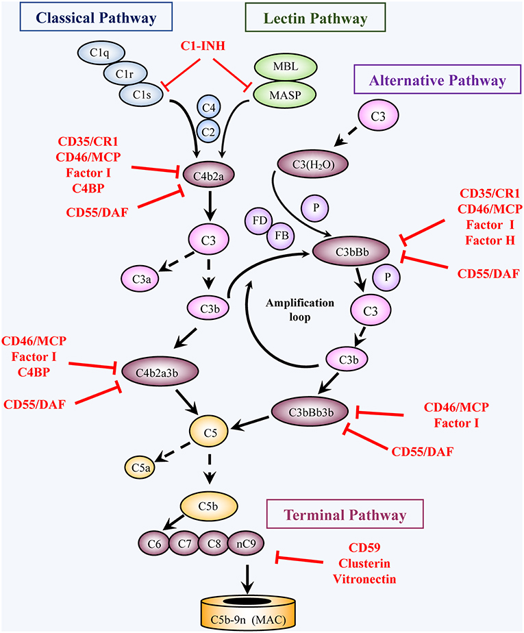 Frontiers | Complement C5b-9 and Cancer: Mechanisms of Cell Damage
